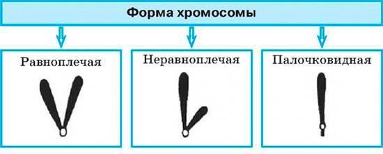Равноплечие хромосомы