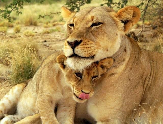 Все про львов животных