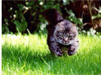 С какой максимальной скоростью бегают кошки
