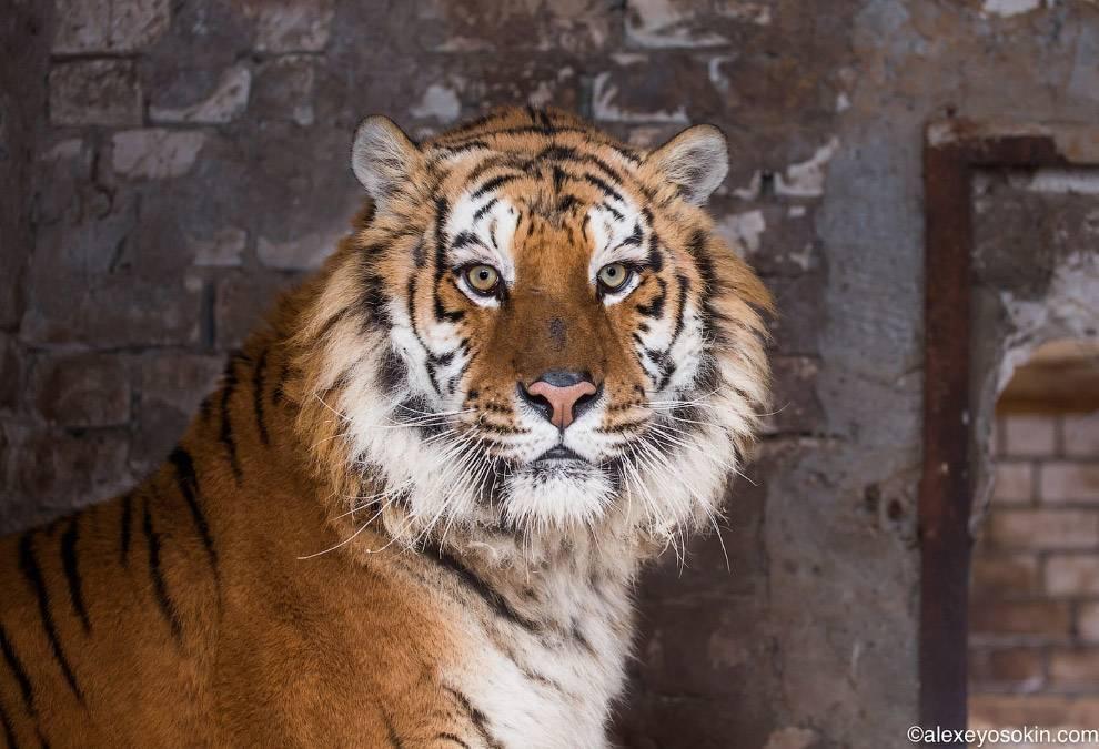 Сколько ест тигр