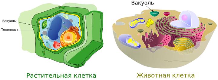 Что делает вакуоль в клетке