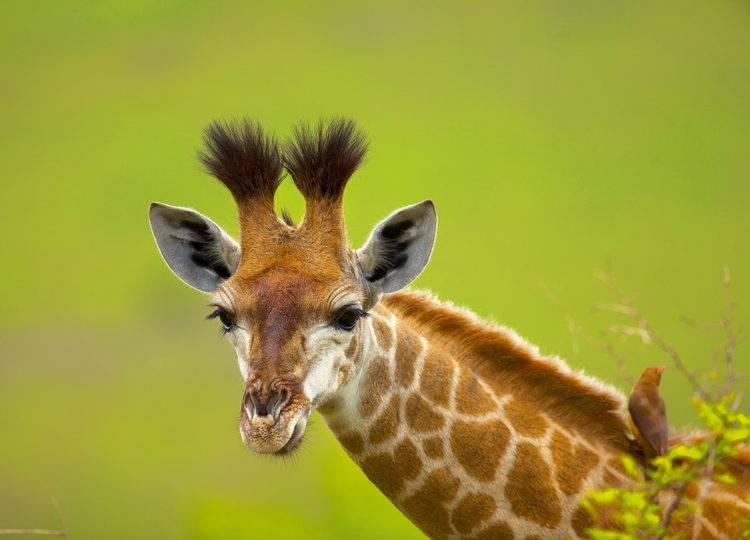 Каким цветом жираф