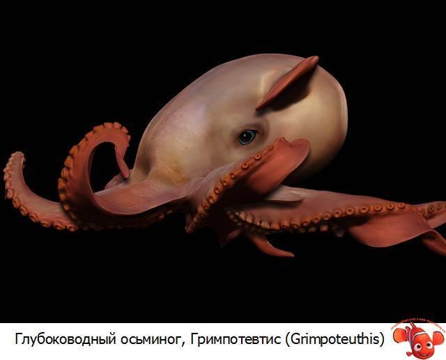 Большой осьминог название