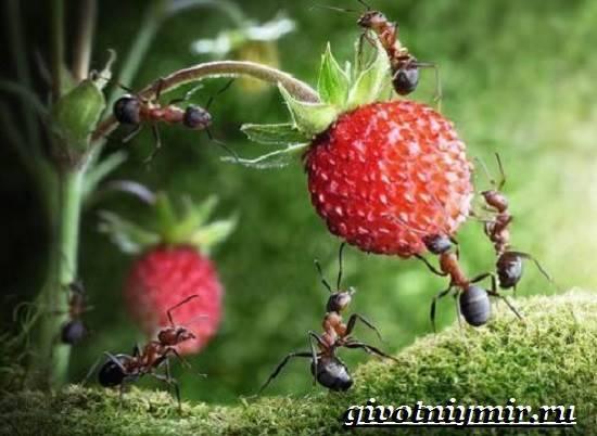 Рассказ о муравьях