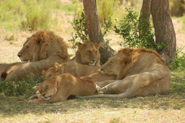 Виды львов животных