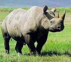 Чем питается носорог в природе