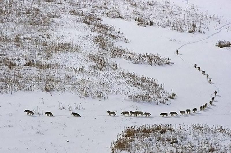 Жизнь волка в дикой природе