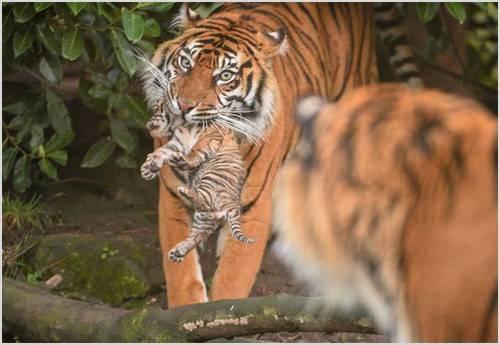 Суматранский тигр фото