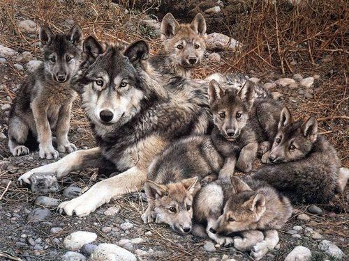 Где обитают волки в россии