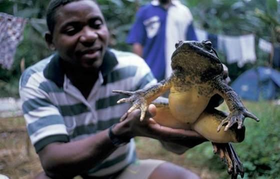 Как называется самая большая лягушка в мире