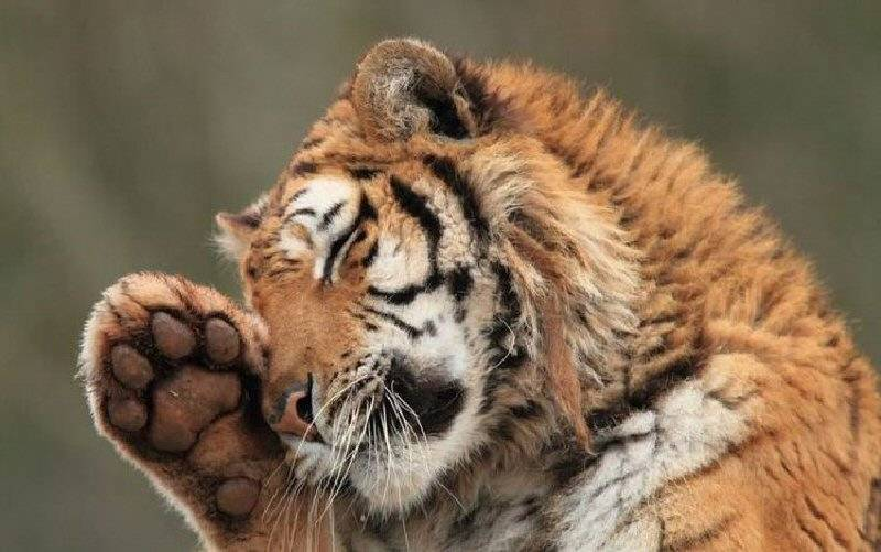 Тигр красивый