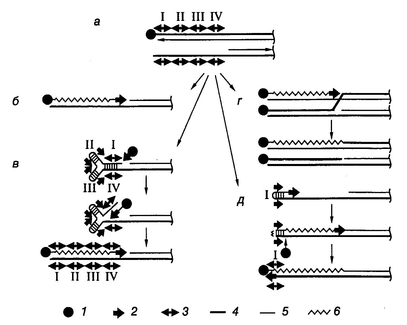 Линейные хромосомы