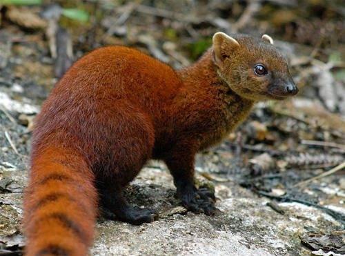 Хищное млекопитающее из семейства мадагаскарских хищников