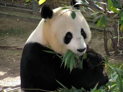 Панда фото животного