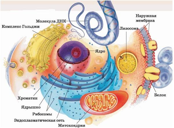 Схема строения животной и растительной клетки