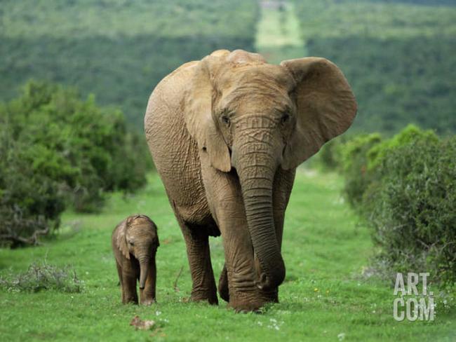 Какой самый большой слон