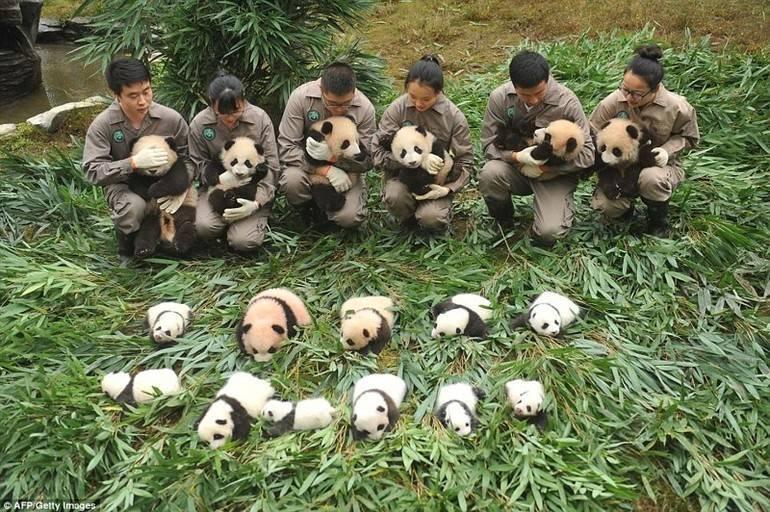Панда характеристика животного