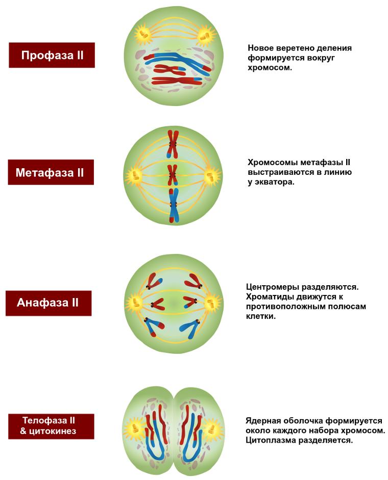 Из скольких этапов деления состоит процесс мейоза