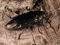 Самое быстрое сухопутное насекомое