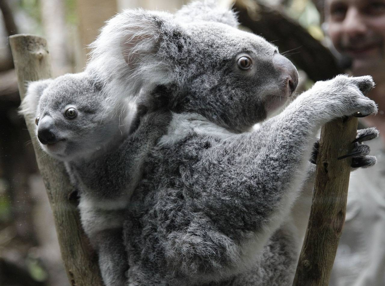 Germany Zoo Koala