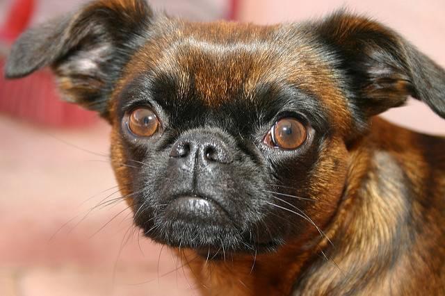 Самые редкие породы собак в мире фото