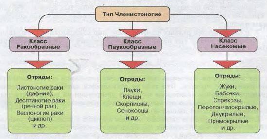 Тип членистоногие включает классы