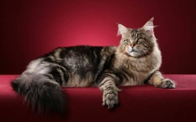 Как называется порода кошек похожих на рысь
