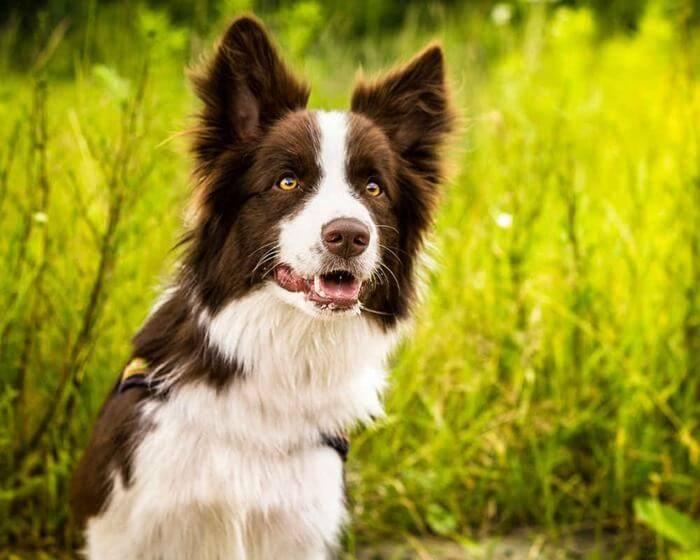 Какая самая умная порода собак в мире