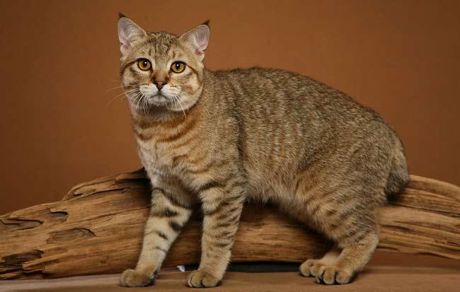 Большая кошка похожая на рысь