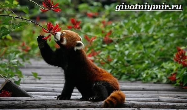Панда занесена в красную книгу