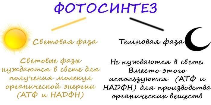 Кислород выделяется в процессе фотосинтеза