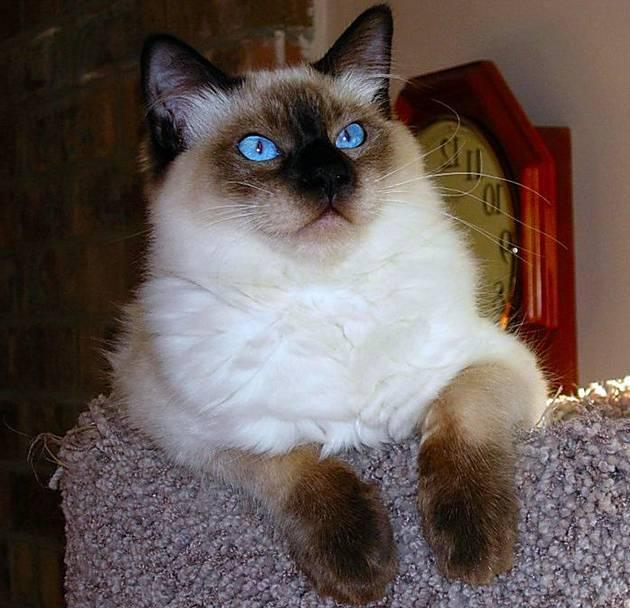 Балинезийский кот фото