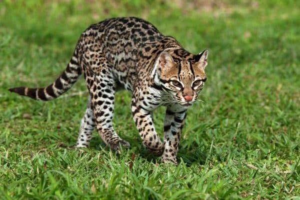 Порода кошек оцелот