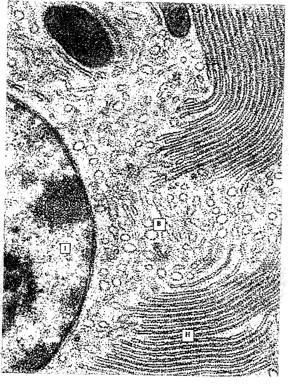 Лизосомы картинки