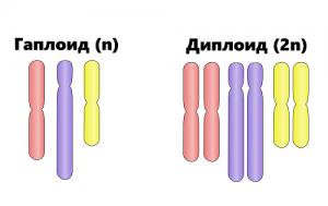 Какая клетка содержит диплоидный набор хромосом