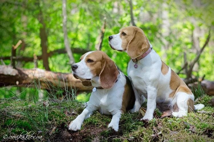 Собака для охоты на уток и зайцев