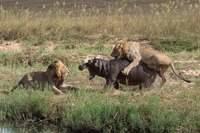 Фото бегемота в африке