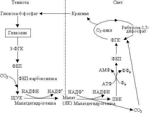 Что образуется в темновой фазе фотосинтеза