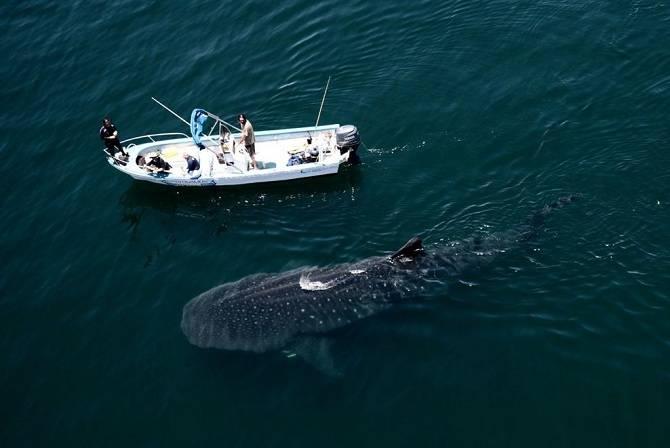 Сколько весит самая большая акула в мире