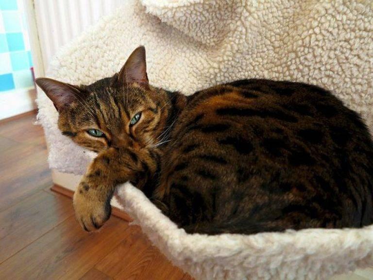Дикая бенгальская кошка