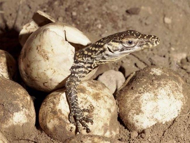 Гигантская ящерица