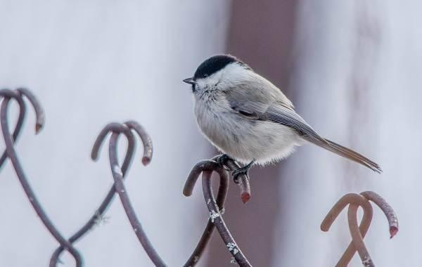 Оседлые птицы названия
