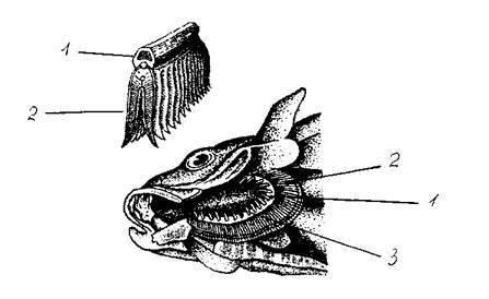 Какая чешуя у хрящевых рыб