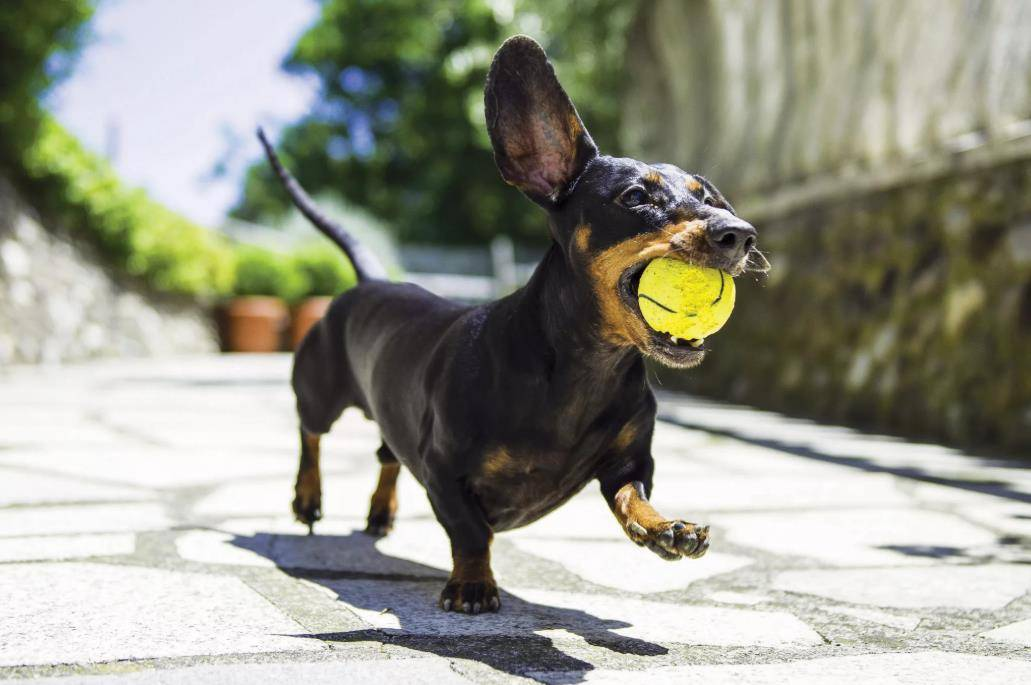 Какая самая лучшая порода собак