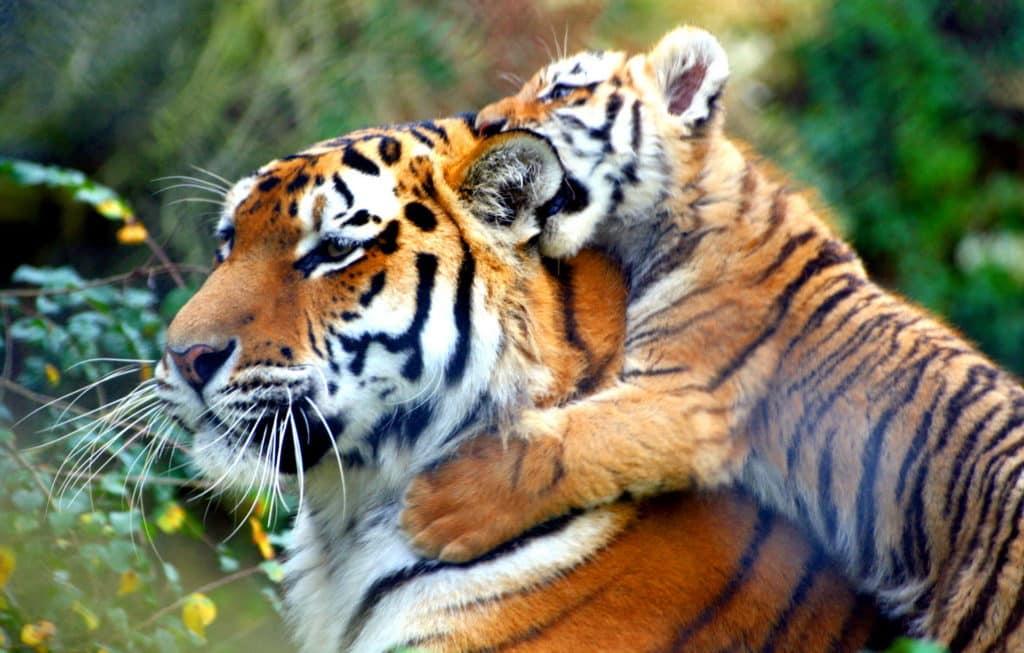 Размножение тигров