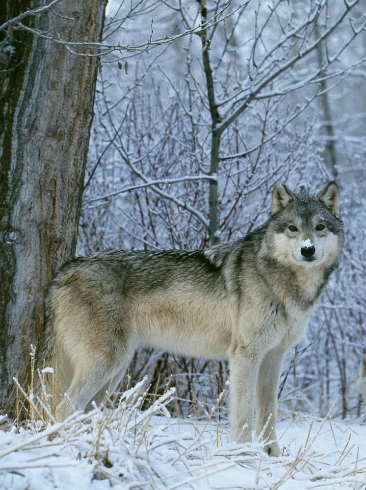 Волк защищает волчицу