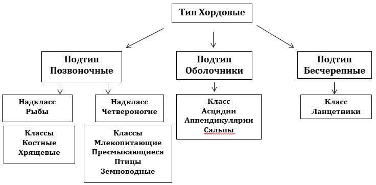 Подтипы хордовых