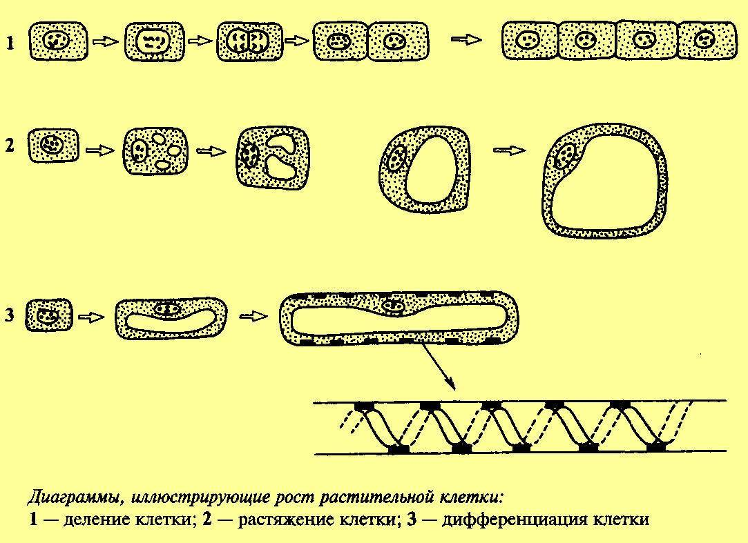 Клеточный цикл и его периоды