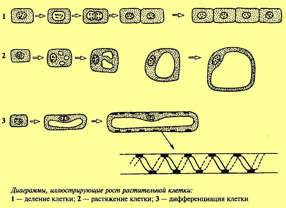 Схематически изобразите клеточный цикл
