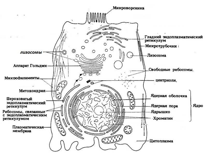 Схема строения растительной клетки рисунок с подписями